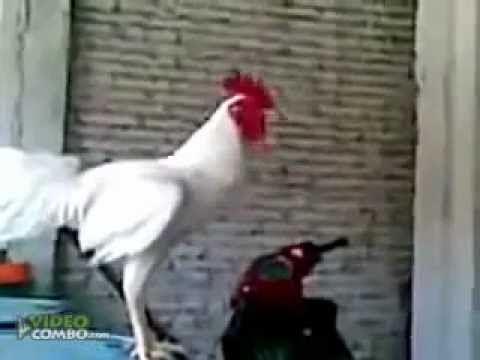 Gallo Carcajeandose